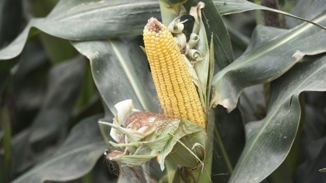 El maíz consolida una gran cosecha