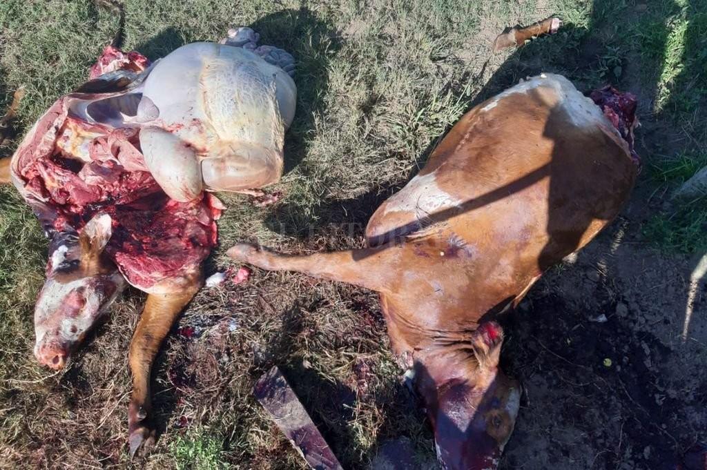 Cuatrerismo suburbano crónico: los ganaderos se armaron y patrullan los campos