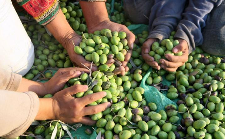 Por los planes sociales, sólo se presentaron 3 personas para la cosecha de vid, nuez y oliva, pero necesitan 3.000 trabajadores