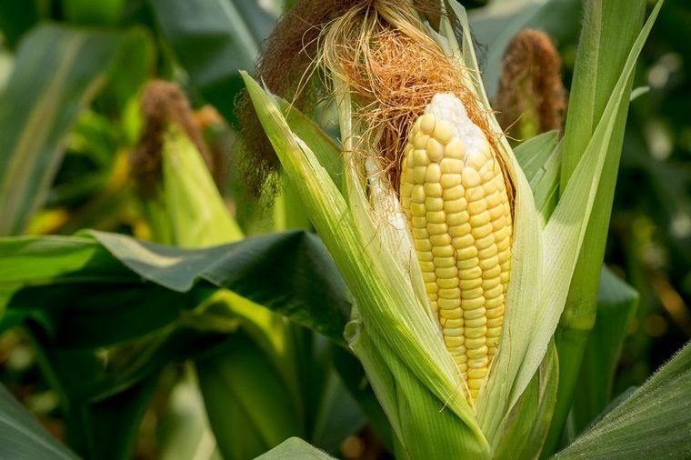 Córdoba, novena en el podio mundial de maíz