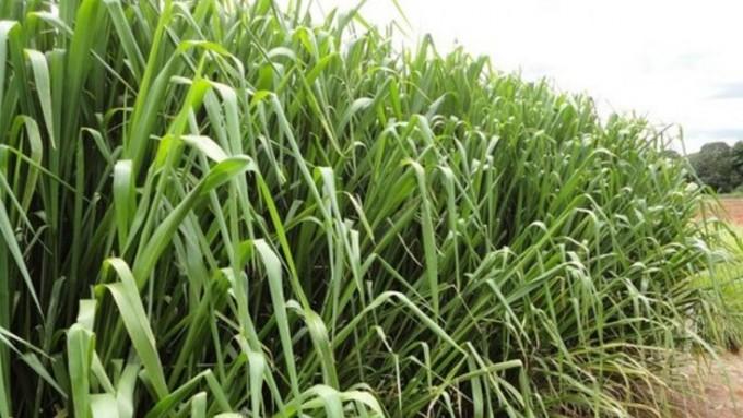 El pasto común contiene gen clave para aumentar rendimiento de cultivos agrícolas