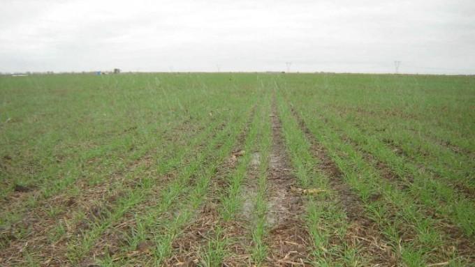 La siembra de trigo aumentaría 7,8% a nivel nacional