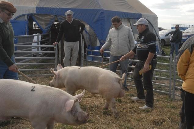 Genética de punta en el espacio porcino de AgroActiva