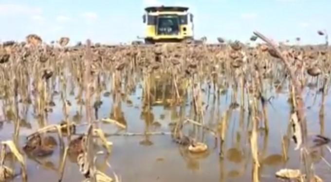 Video: la impactante cosecha en un campo bajo el agua en Bolívar