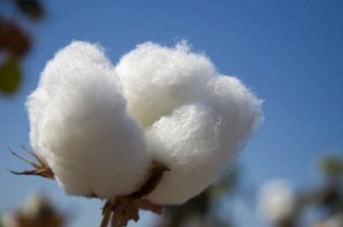 Será obligatorio el Documento de Tránsito Vegetal para transportar algodón en bruto