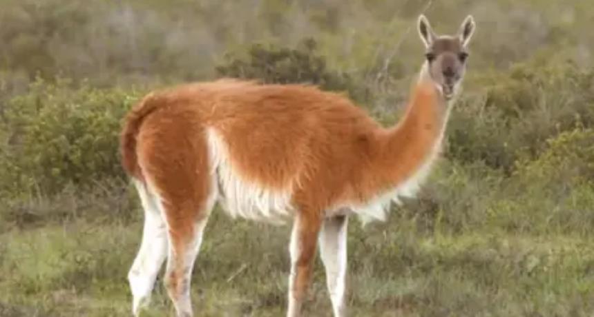 Las llamas y alpacas podrían tener los anticuerpos contra COVID-19, según un estudio científico