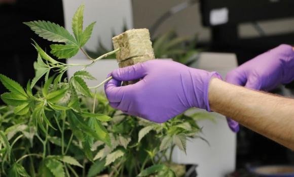 ANMAT aprobó la compra de materia prima para que Santa Fe produzca cannabis medicinal