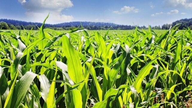 El maíz se afianza y tocaría un récord de producción en 2021/22