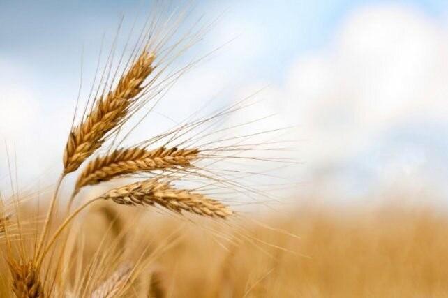 El trigo va camino a lograr la mejor campaña de la historia de Argentina