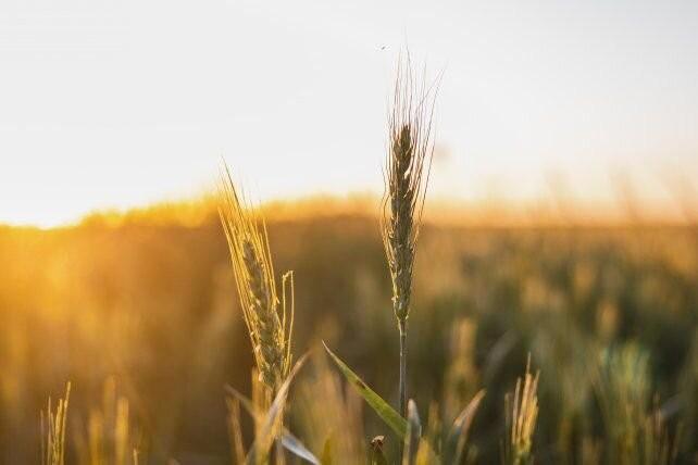 El trigo nuevo y el maíz viejo: una carrera por batir récords