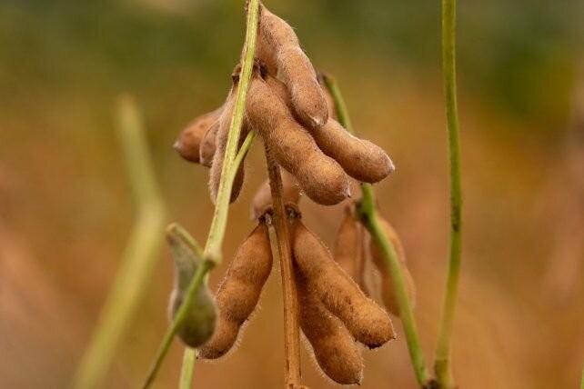 Soja: nuevas variedades con foco en el rendimiento y la estabilidad