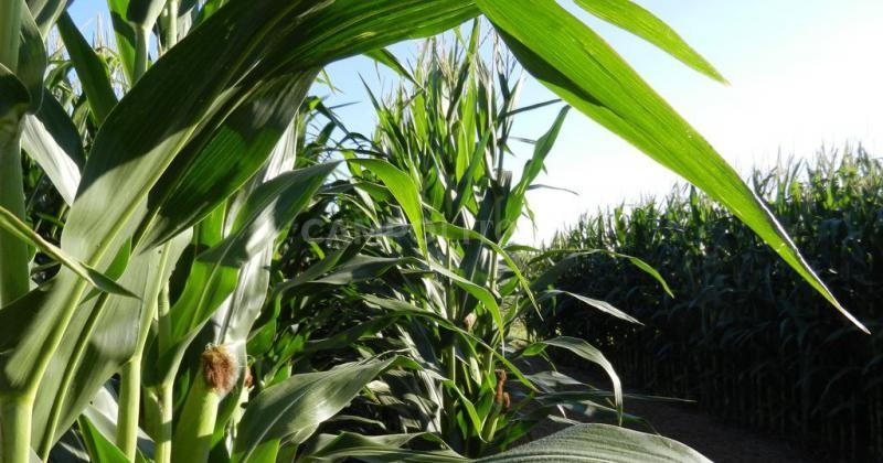 El rinde del maíz creció casi el doble que el de la soja