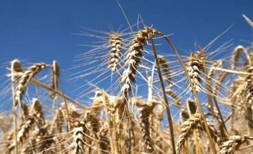 Tras la sexta semana bajista seguida, el trigo perdió un 25% de su valor en EE.UU.