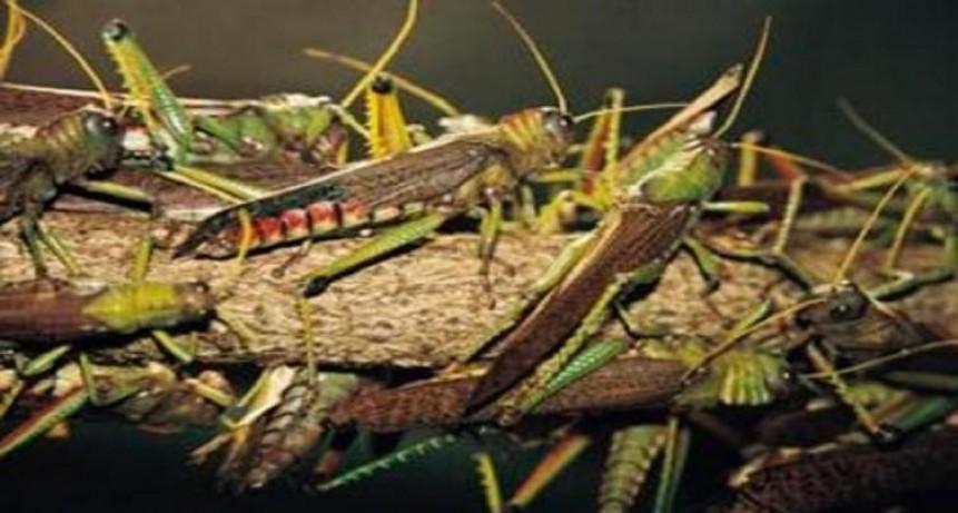 Ataque de langostas: Santa Fe está en zona de emergencia fitosanitaria hasta 2019