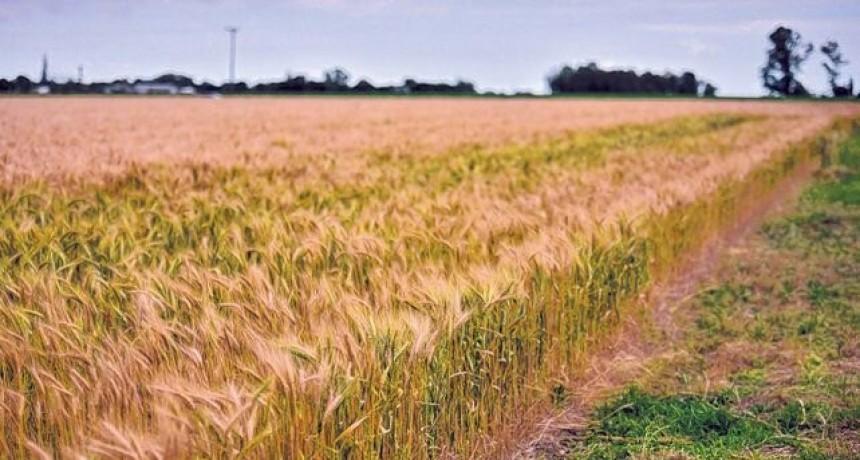 El trigo ya no aguanta la falta de agua y encima hubo heladas
