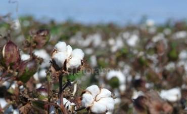Estiman que crecerá el área sembrada con algodón