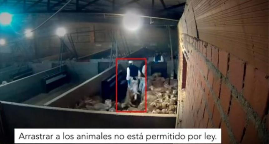 ONG usa cámaras ocultas en un matadero y descubre el cruel trato a los animales