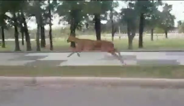 Insólito: filman a un ciervo corriendo por las calles de Santa Fe