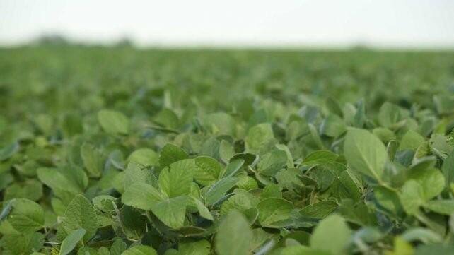 Soja: nuevas variedades para robustecer los rendimientos