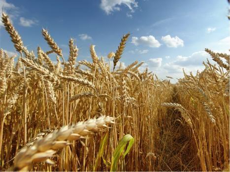 Productores santafesinos mostraron preocupación por los rendimientos del trigo