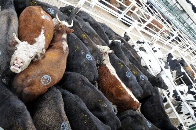 Vacas a China: al mes se exportarán 150 mil animales menos