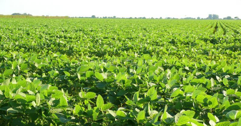 El área de soja será la menor en 15 años