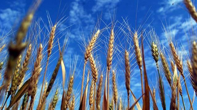 El precio del trigo cayó a uno de los niveles más bajos del año en EE.UU.