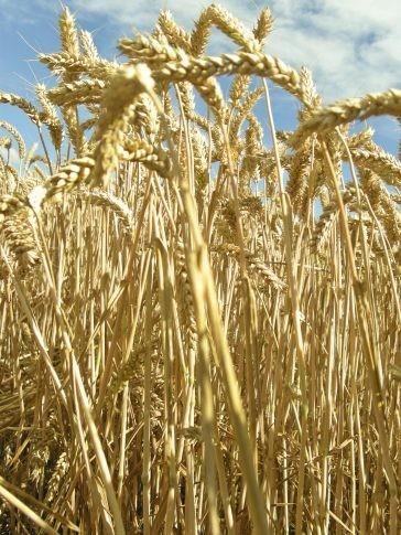 Los agricultores de Estados Unidos reducirán el área por sembrar con trigo