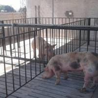 Puesta en marcha de tres laboratorios de inseminación artificial porcina