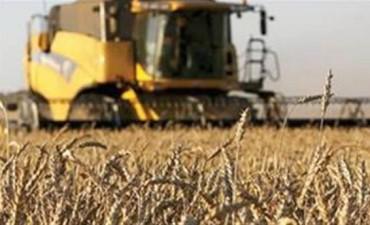 En trigo, la roya amarilla extiende su daño en la cosecha