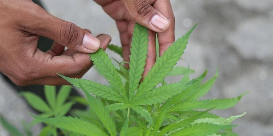 ONU sacó al cannabis medicinal de la lista de drogas más peligrosas