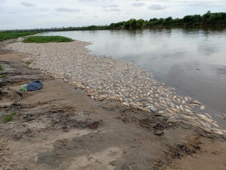 Realizan inspecciones ante la mortandad de peces en el río Salado