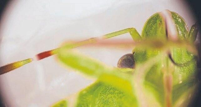 La saliva de la chinche verde, clave en el daño a la semilla de soja
