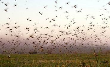 Qué insecticidas fueron autorizados para combatir a las langostas