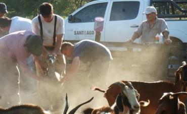 Campaña sanitaria y sangrado para control de brucelosis en animales caprinos en el departamento Choya