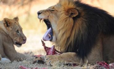 Cinco leones se escaparon de una reserva y ponen en riesgo a la población